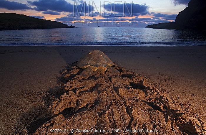 Green Turtle (Chelonia mydas) returning to the sea, IUCN Endangered, Socorro Island, Revillagigedo Archipelago Biosphere Reserve / Archipielago de Revillagigedo UNESCO Natural World Heritage Site (Socorro Islands), Pacific Ocean, Western Mexico, July