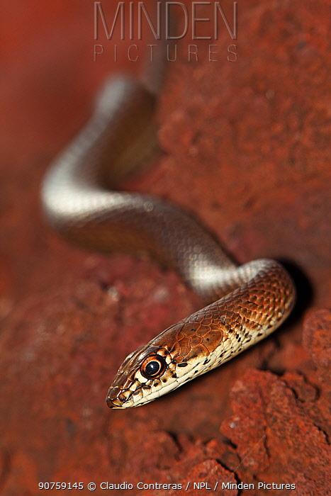 Clarion Island Whip Snake (Masticophis anthonyi), IUCN Critically Endangered, Clarion Island, Revillagigedo Archipelago Biosphere Reserve / Archipielago de Revillagigedo UNESCO Natural World Heritage Site (Socorro Islands), Pacific Ocean, Western Mexico, January