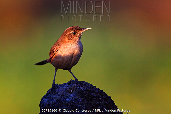 Clarion Wren (Troglodytes tanneri), IUCN Vulnerable, Clarion Island, Revillagigedo Archipelago Biosphere Reserve / Archipielago de Revillagigedo UNESCO Natural World Heritage Site (Socorro Islands), Pacific Ocean, Western Mexico, January
