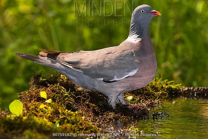 Woodpigeon (Columba palumbus), Bayern, Germany. September