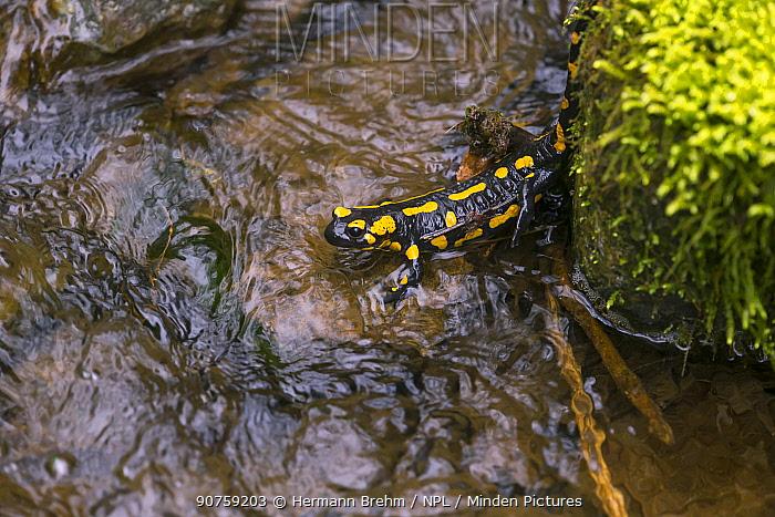 Fire Salamander (Salamandra salamandra) in stream. Bayern, Germany. April