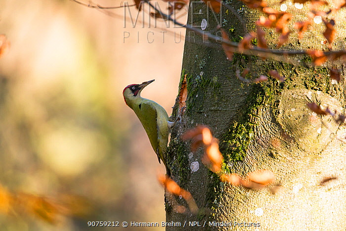 Green woodpecker (Picus viridis), male building nest, Bayern, Germany. November