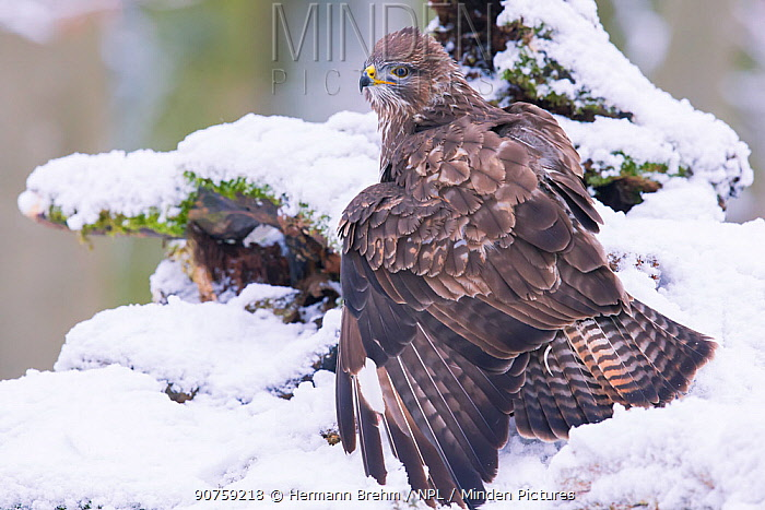 Common Buzzard (Buteo buteo) on ground in snow, Bayern, Germany. January