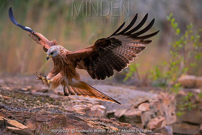 Red Kite ( Milvus milvus) landing, Bayern, Germany. September