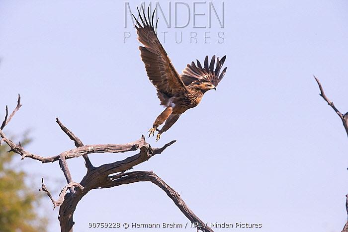 Tawny Eagle (Aquila rapax) taking off, Little Kwara, Botswana June