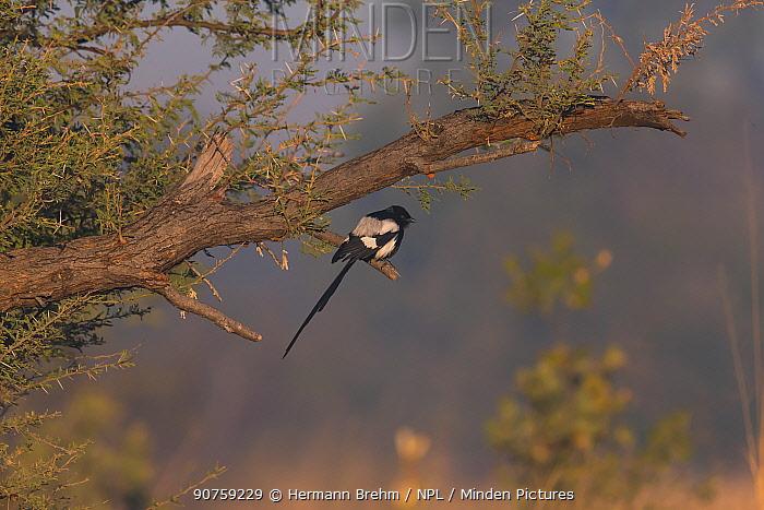 Long-tailed Shrike (Corvinella melanoleuca) Little Kwara, Botswana June