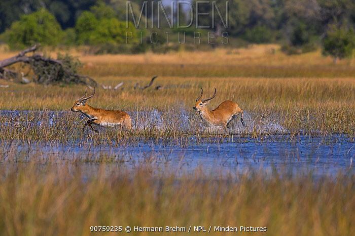 Lechwe (Kobus leche), males running, Little Kwara, Botswana June