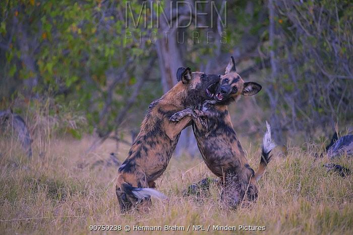 Wild Dog (Lyacon pictus) play fighting, Little Kwara, Botswana June