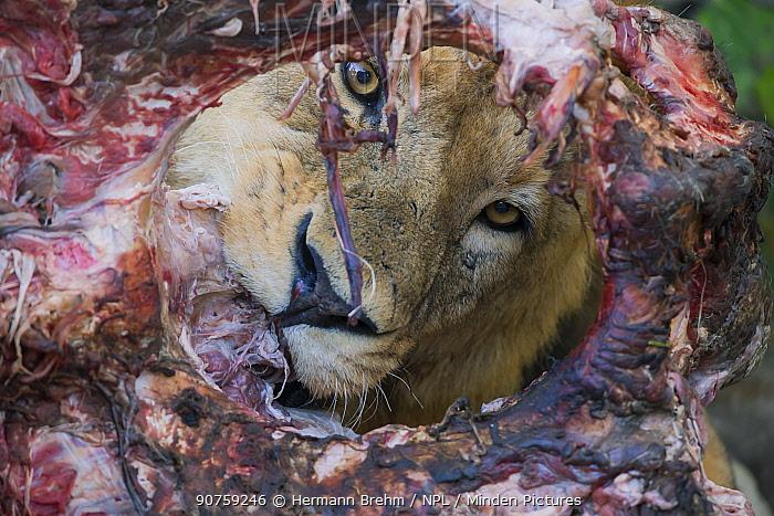 Lion (Panthera leo) male, feeding on a giraffe carcass Little Kwara Botswana June