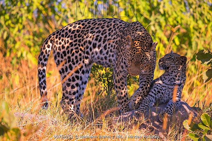 Leopard (Panthera pardus) female with cub age 6 months, Little Kwara, Botswana June