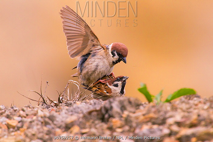 Tree Sparrow (Passer montanus) pair mating, Bayern, Germany. July