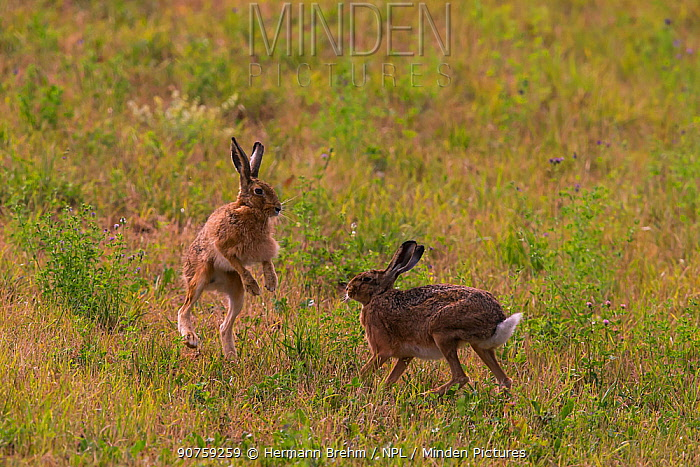 Brown Hare (Lepus europaeus) pair in courtship chase, Bayern, Germany. July
