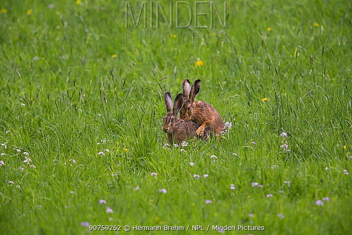 Brown Hare (Lepus europaeus), mating Bayern, Germany. April.