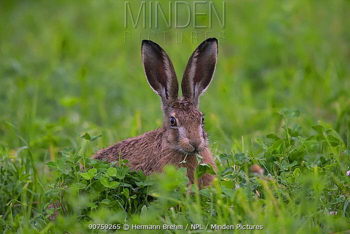 Brown Hare (Lepus europaeus) Bayern, Germany. June. June