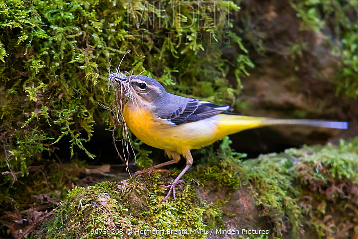 Grey Wagtail (Motacilla cinerea) with nesting material, Bayern, Germany. April