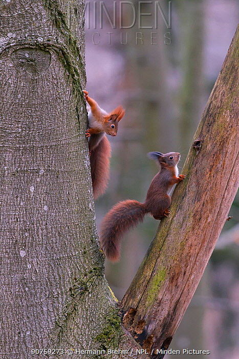 Red Squirrel (Sciurus Vulgaris), young ones playing, Bayern , Germany. March