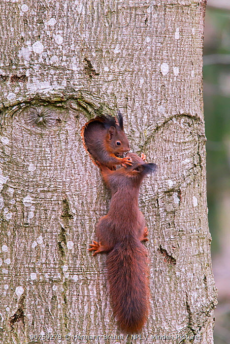 Red Squirrel (Sciurus Vulgaris), juveniles playing, Bayern , Germany. March