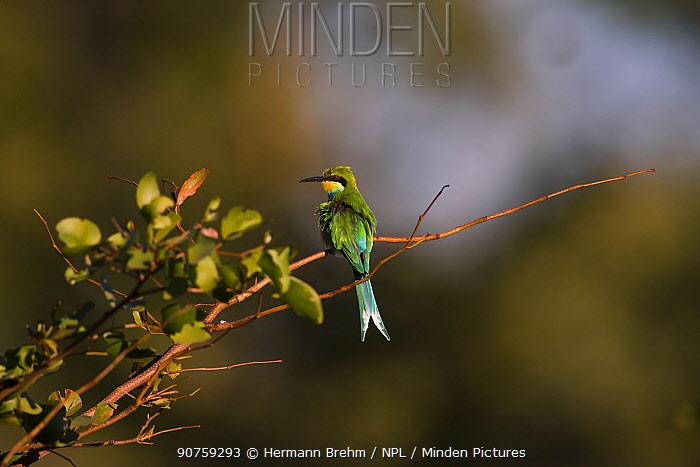 Swallow-tailed Bee-eater (Merops hirundineus) Little Kwara, Botswana June