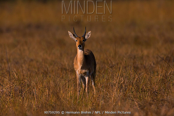Bohor reedbuck (Redunca redunca) male, Little Kwara, Botswana June