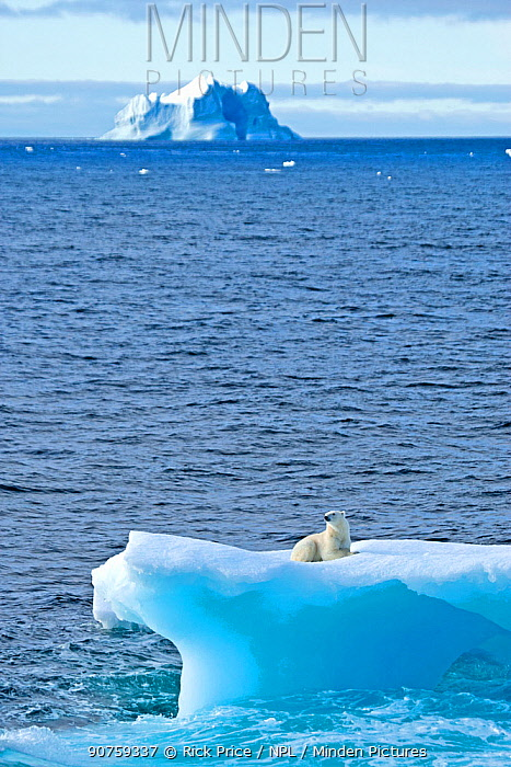 Polar bear (Ursus maritimus) on an iceberg, Baffin Bay, Canada. September.