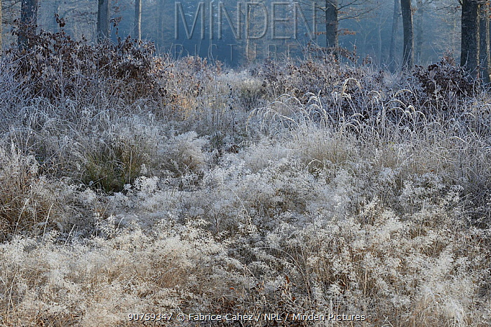 Frosted covered plants in forest, Vosges, France, December.