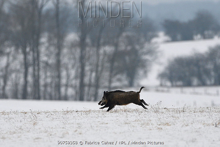 Wild boar (Sus scrofa) running across snow covered field, Vosges, France, January.