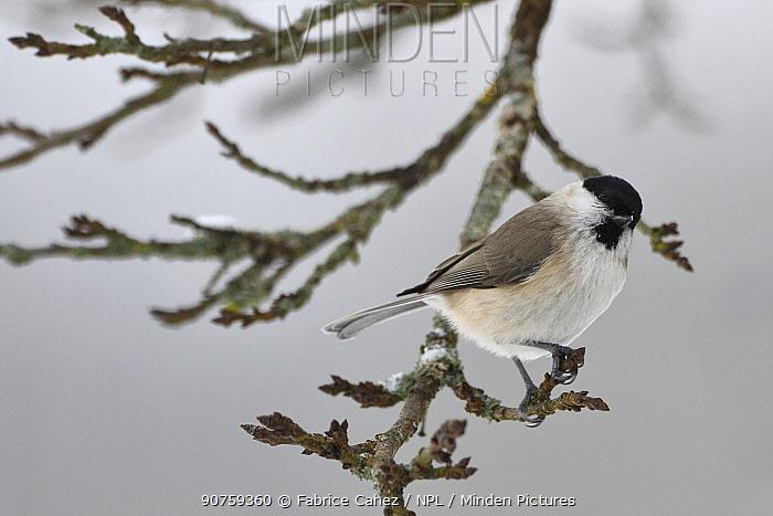 Marsh tit (Poecile palustris) perched, Vosges, France, January.