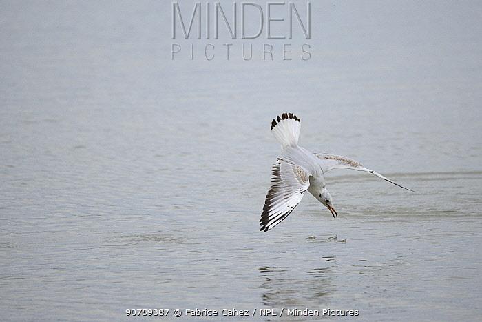 Black-headed gull (Chroicocephalus ridibundus) diving for food, Lac du Der, France, November.