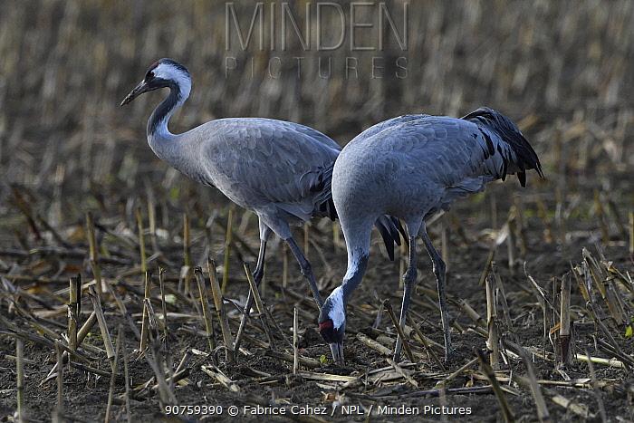 Common crane (Grus grus) Lac du Der, France, November.