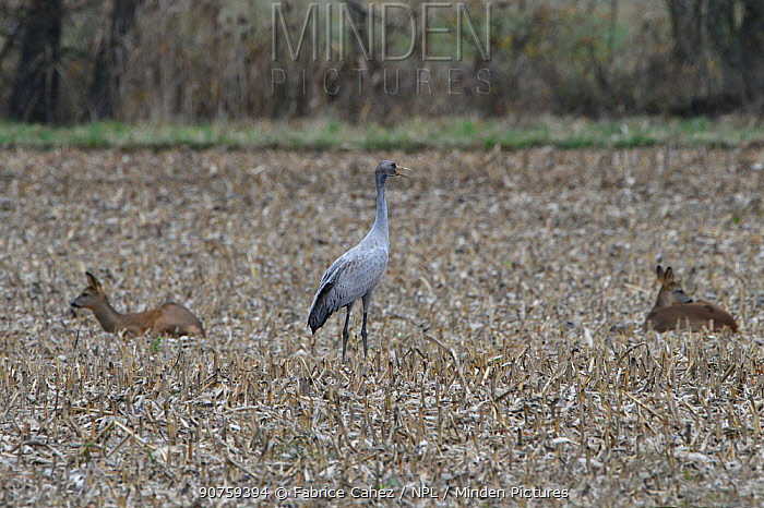 Common crane (Grus grus) with Roe deer (Capreolus capreolus) in field of stubble, Lac du Der, France, November.