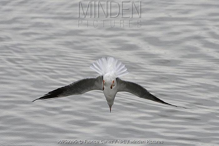 Black-headed gull (Chroicocephalus ridibundus) Lac du Der, France, November.