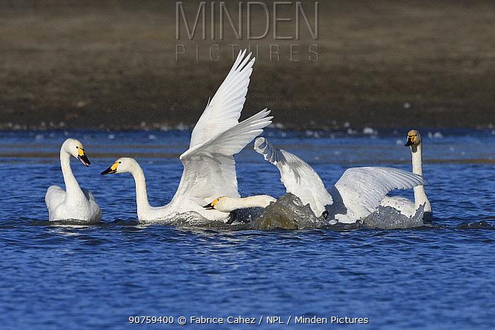 Bewicks swan (Cygnus columbianus bewickii) group on water, Champagne, France, November.
