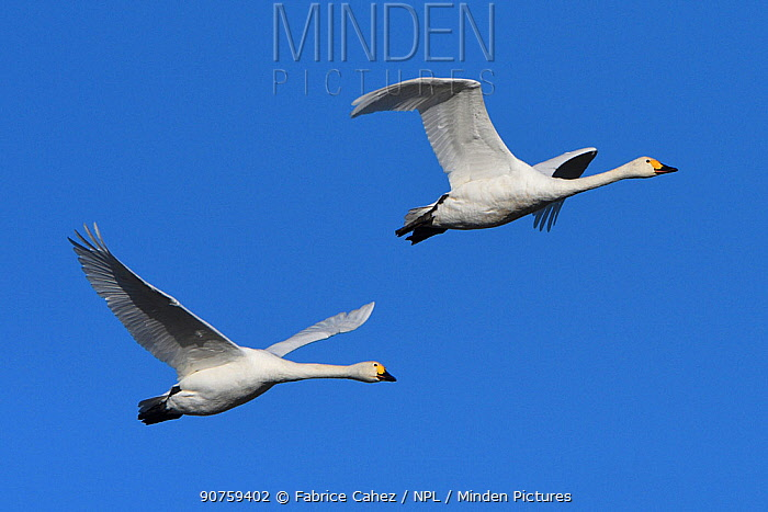 Tundra swans (Cygnus columbianus) in flight, Champagne, France, November.