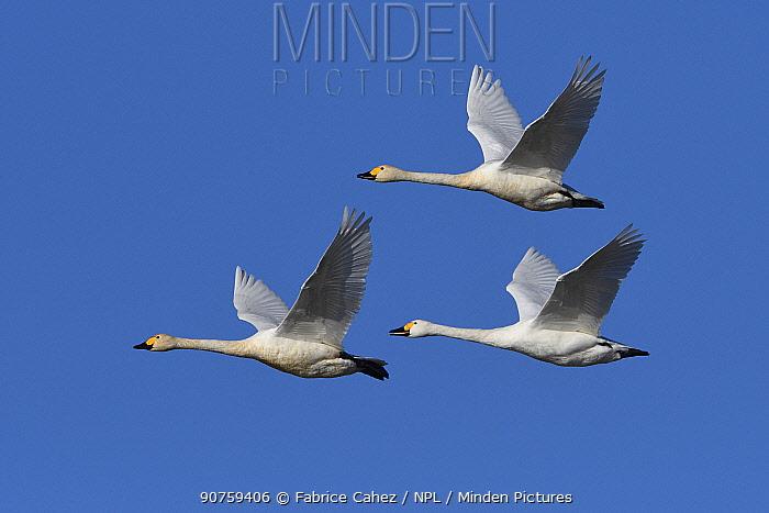 Bewicks swan (Cygnus columbianus bewickii) group of three in flight, Champagne, France, December.