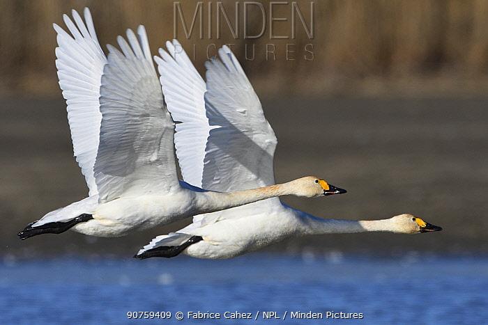 Bewicks swan (Cygnus columbianus bewickii) two in flight, Champagne, France, November.