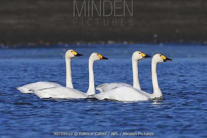 Bewicks swan (Cygnus columbianus bewickii) group of four on water, Champagne, France, November.