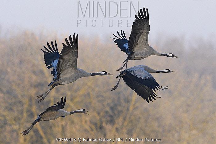 Common crane (Grus grus) flock in flight, Lac du der, France, December.