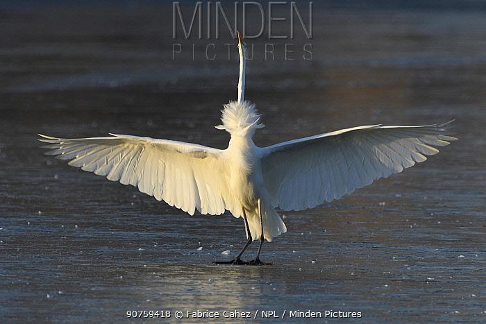 Great egret (Ardea alba) loosing balance on ice, Champagne, France, December