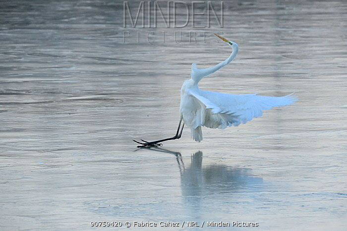 Great egret (Ardea alba) failing to balance on ice, Champagne, France, December