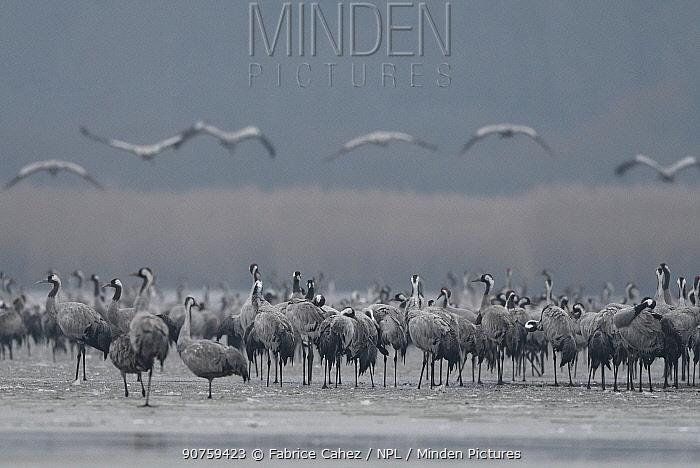 Grus grus (Common crane) flock, Lac du der, France, December.