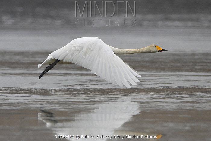 Whooper swan (Cygnus cygnus) in flight, Champagne, France, December.