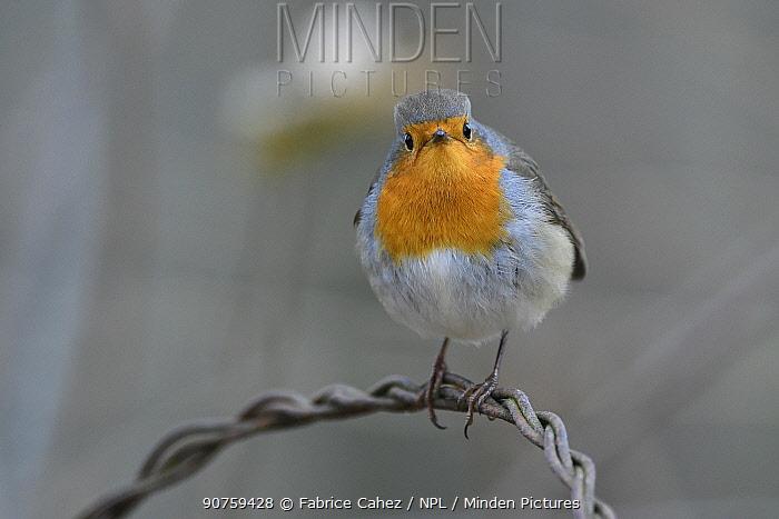 European robin (Erithacus rubecula), Vosges, France, December.