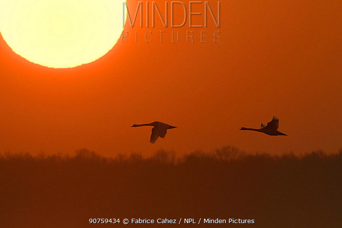 Mute swan (Cygnus olor) two flying at dawn sunrise, Champagne, France, February.