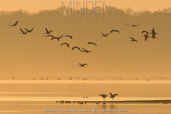 Common crane (Grus grus) flock at dawn, Lac du Der, France, February.