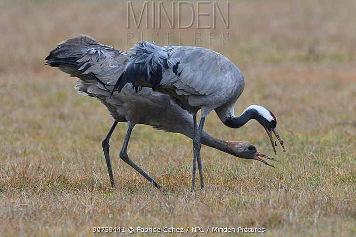 Common cranes (Grus grus) juvenile and adult foraging, Lac du der, France, February.