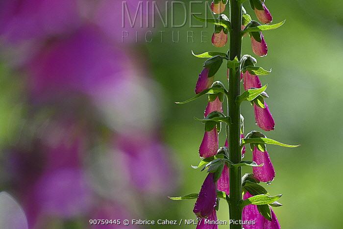 Foxglove (Digitalis purpurea) flowers, France. June.