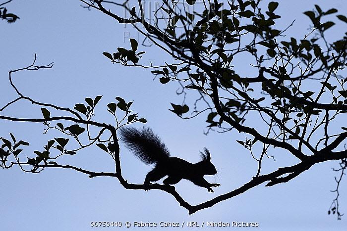 Red squirrel (Sciurus vulgaris) running, Vosges, France