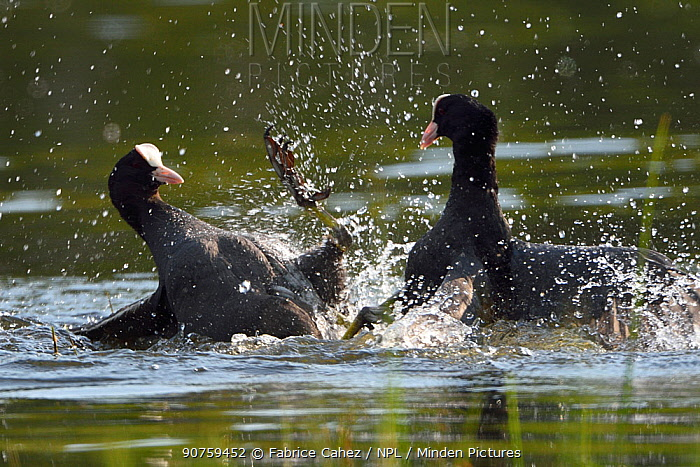 Eurasian coots (Fulica atra) fighting, Vosges, France