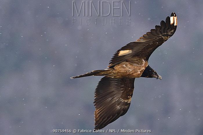 Bearded vulture (Gypaetus barbatus) Gorges de la Jonte, Cevennes, France, March.