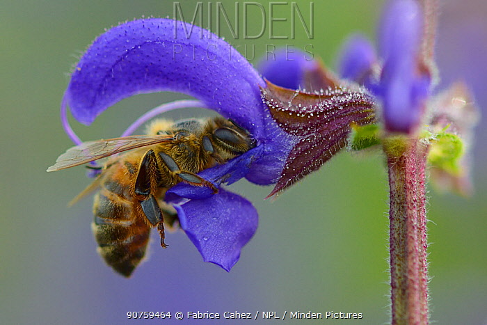 Honeybee (Apis melifera) foraging on Sage flower (Salvia pratensis) Vosges, France, May.